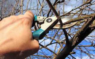 Черешня. правила осеннего ухода за деревом