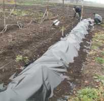 При какой температуре укрывать виноград на зиму в средней полосе?