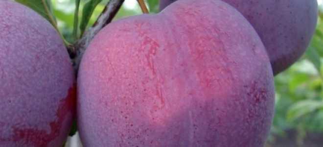Слива Оцарк Премьер — описание сорта, фото, отзывы садоводов