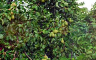 Сорта груш для Ленинградской области с описанием и фото