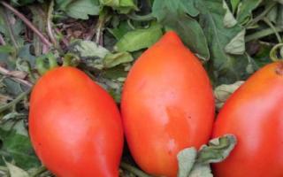 Сорт помидоров ракета: характеристика, достоинства и недостатки