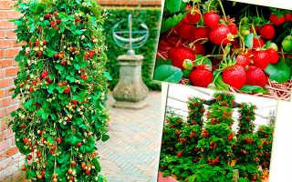 Вьющаяся клубника — особенности выращивания