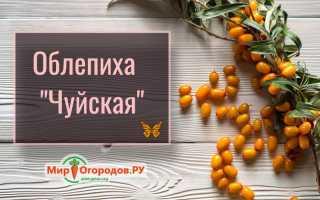 Облепиха Чечек — описание сорта, фото и отзывы садоводов