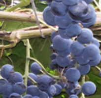 Виноград Зилга: описание сорта, фото и отзывы садоводов