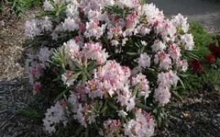 Садовый рододендрон: выращивание в подмосковье и ленинградской области
