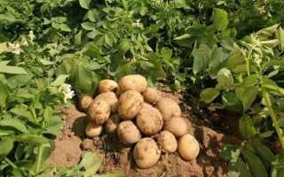 Сорт картофеля метеор: характеристика, агротехника выращивания