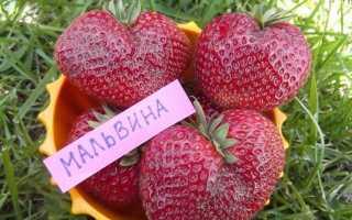 Клубника Мальвина — описание сорта, фото и отзывы садоводов