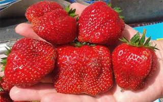Земляника Вима: выращивание, описание сорта, фото и отзывы