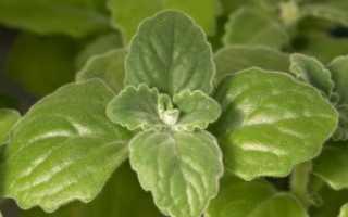 Лечебные свойства плектрантуса ароматного: применение в народной медицине и противопоказания