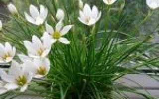 Зефирантес (цветы выскочка): как ухаживать