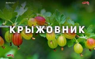 Агротехника выращивания крыжовника
