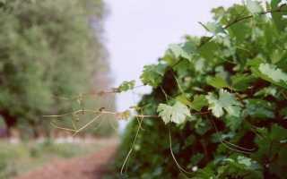 Почему виноград не плодоносит?