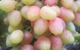Виноград Анжелика: описание сорта, фото и отзывы садоводов