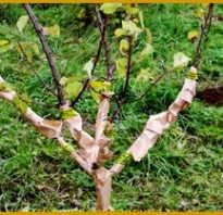 Зимние сорта абрикоса — отвечаем на вопросы дачников