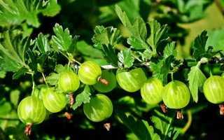 Чем подкормить крыжовник осенью, чтобы был хороший урожай?