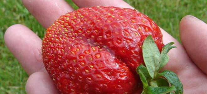 Клубника Лорд — описание сорта, фото и отзывы садоводов