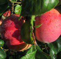 Яблоня Свежесть — описание сорта, фото, отзывы