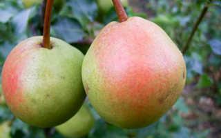 Груша Краснобокая — описание сорта, фото, отзывы садоводов
