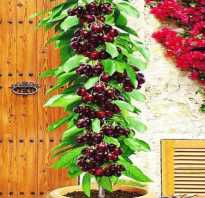 Черешня колоновидная Сильвия — описание сорта, фото, отзывы садоводов