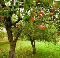 Как сажать саженцы яблони осенью?