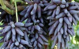 Виноград Ведьмины пальцы: описание сорта, фото и отзывы садоводов