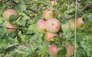 Яблоня Медуница — описание сорта, фото, отзывы