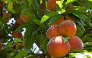 Персик Колоновидный Медовый — описание сорта и отзывы садоводов