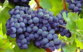 Лучшие сорта винограда для Беларуси