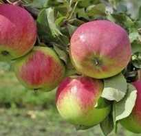 Яблоня Авенариус — описание сорта, фото, отзывы