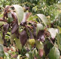 Черные листья на груше — что это и как бороться?