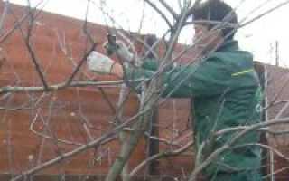 Обрезка сливы: когда и как правильно ее делать: советы садоводам