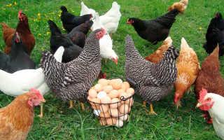 Как часто несутся куры, сколько яиц может снести курица
