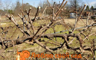 Подготовка винограда к зиме на Украине