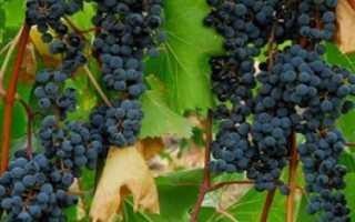 Посадка винограда в Сибири для начинающих