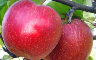 Яблоня Джонаголд — описание сорта, фото, отзывы
