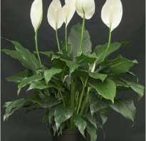 Спатиффилум не цветет, у него желтеют листья и другие проблемы при выращивании растения