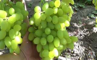 Виноград Долгожданный: описание сорта, фото и отзывы садоводов
