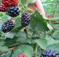 Ежевика Biffguyz — описание сорта, характеристика, выращивание, фото и отзывы