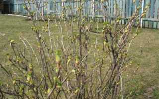 Подкормка весной смородины