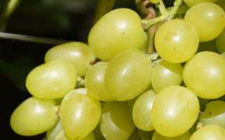 Лучшие сорта винограда для Сибири с фото и описанием