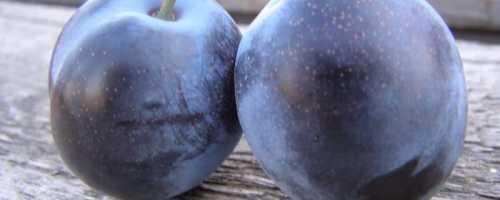Слива Блю Фри — описание сорта, фото, отзывы садоводов