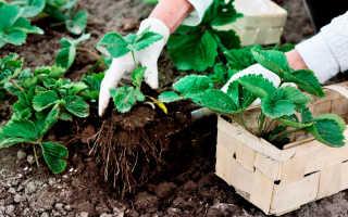 Посадка земляники садовой весной