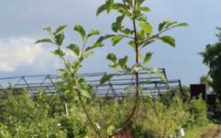 Как вырастить сливу в ленинградской области: советы опытных агрономов