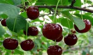 Обработка вишни от вредителей после цветения: секреты садоводов