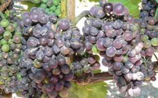 Как предотвратить и бороться с вредителями винограда