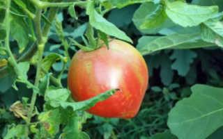 Томат Розовый Спам — описание сорта, фото, урожайность и отзывы садоводов