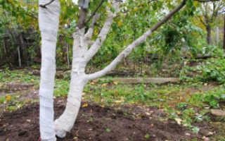 Как подготовить яблони к зиме?