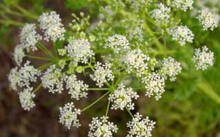 Растение болиголов: лечебные свойства травы и её применение в медицине