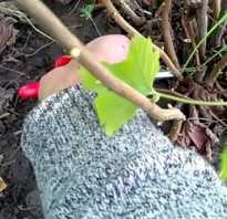 Размножение черной смородины черенками летом