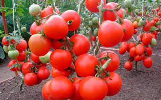 Лучшие сорта томатов от сибирских селекционеров